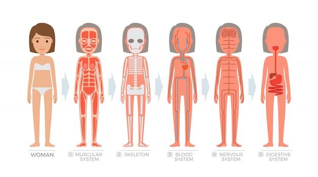 Sistema di anatomia della donna e struttura del corpo umano.