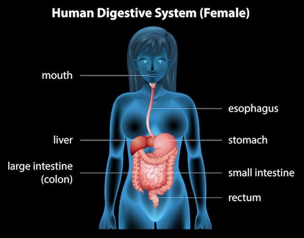 Sistema digestivo umano
