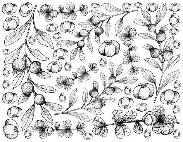 Skecth di canthium berberidifolium e cambui roxo fruits