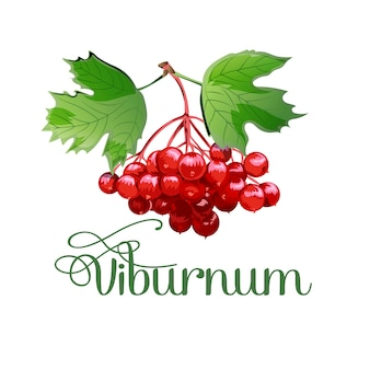 Spazzola il viburnum. pianta medicinale