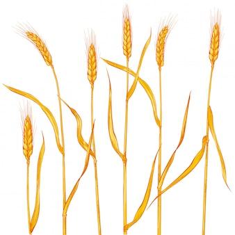 Spighe di grano. raccolta di cereali, agricoltura, agricoltura biologica