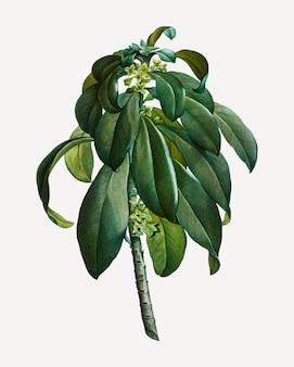 Spurge laurel weeds