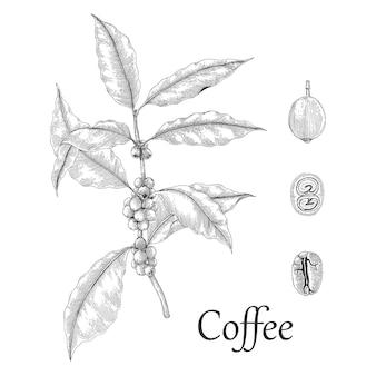 Stile dell'incisione del disegno della mano della pianta del caffè