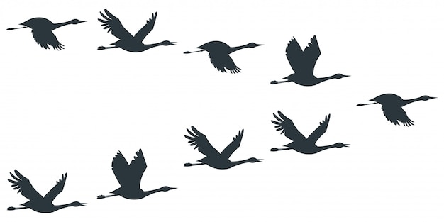 Stormo di gru o cicogna sagoma nera in volo.