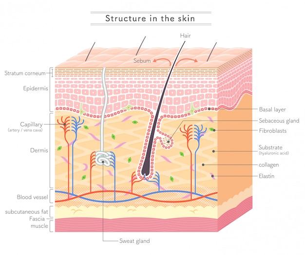 Struttura nella skin_notazione inglese