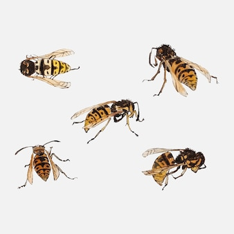 Studi di vespe di julie de graag