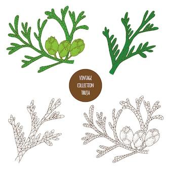 Thuja. insieme disegnato a mano di vettore delle piante cosmetiche isolato su fondo bianco