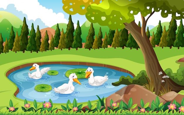 Tre anatre che nuotano nello stagno
