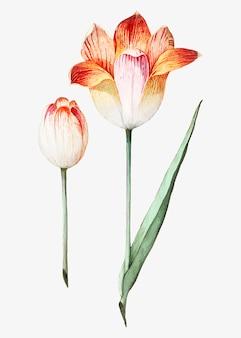 Tulipano in stile vintage