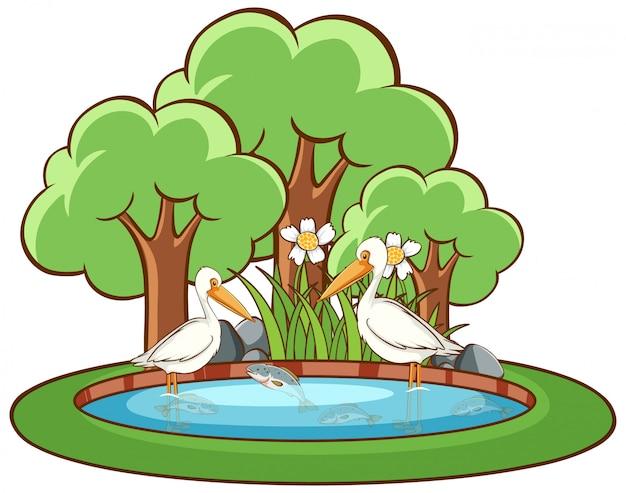 Uccelli del pellicano su fondo bianco
