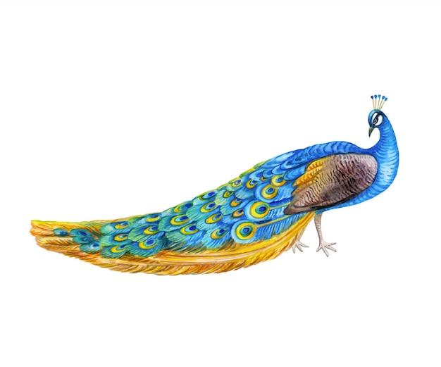 Uccello di pavone isolato. acquerello