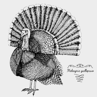 Uccello realistico disegnato a mano, schizzo stile grafico, meleagris gallopavo