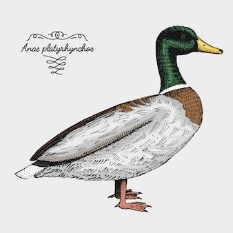 Uccello realistico disegnato a mano, stile grafico di schizzo,