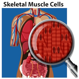 Un vettore di cellule muscolari scheletriche