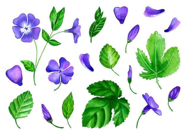 Una serie di fiori di pervinca è realizzata in acquerello