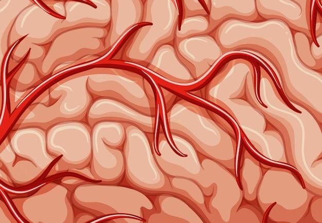 Una vene del primo piano del cervello