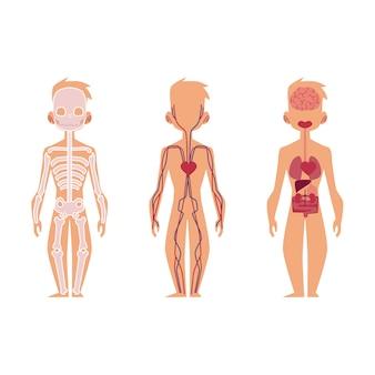 Vector persone anatomia organi interni, struttura