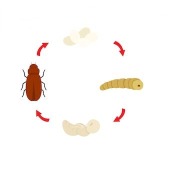 Vettore del verme della farina del ciclo di vita dell'illustrazione