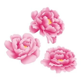 Vettore di fiore di peonia
