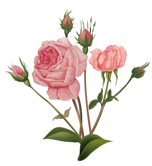 Vettore di fiori rose rosa