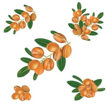 Vettore di frutta di argan