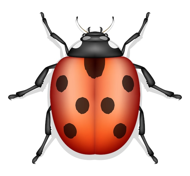 Vettore di insetto coccinella isolato