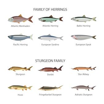 Vettore di pesce impostato nel design stile piano. aringhe e pesci storione. raccolta di pesci oceanici, marini e fluviali. isolato