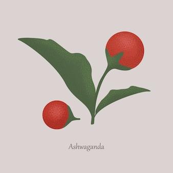 Withania somnifera, bacche rosse medicinali di ashwagandha.