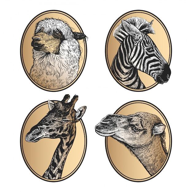 Zebra di mammiferi africani, giraffa, lama, primo piano capo del cammello. ritratti di animali in cornice.