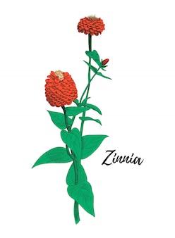 Zinnia disegno floreale. illustrazione di arte linea colorata.