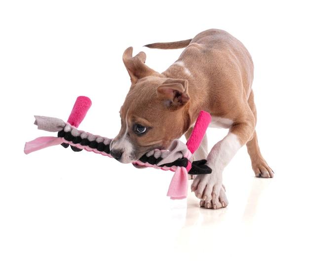 3 maanden oude american staffordshire terrier puppy spelen met een geweven stof speelgoed op wit geïsoleerd