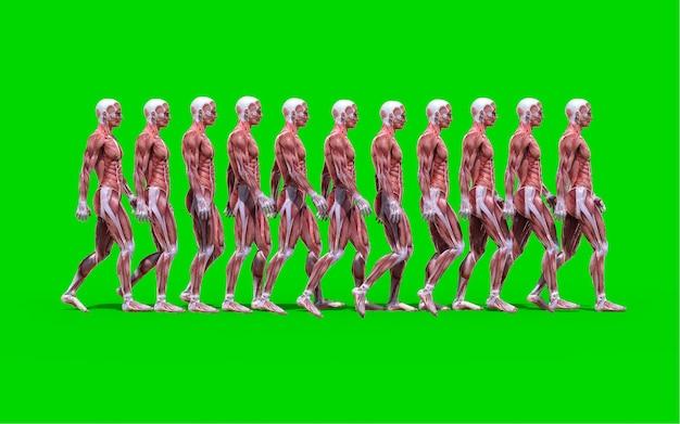 3d digitaal geeft van een het lopen mannelijk anatomiecijfer terug met spierenkaart op groene rug wordt geïsoleerd die