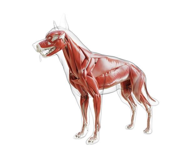 3d-gerenderde medisch nauwkeurige illustratie van het spierstelsel van de hond