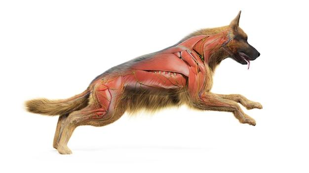 3d-gerenderde medisch nauwkeurige illustratie van het spierstelsel van een hond
