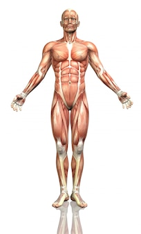 3d render van een mannelijke figuur met een gedetailleerde spier kaart
