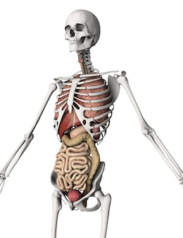 3d render van een skelet met interne organen