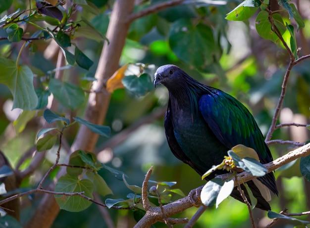 A close-up van een duif de nicobar-duif (caloenas nicobarica) zittend op een tak over dichtbegroeide boombladeren. mooie kleurrijke exotische aziatische vogels in bomen presenteren de levensstijl van dieren in het wild in tropische bossen.