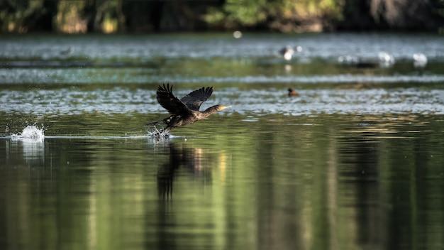 Aalscholver die hun vleugels klappen alvorens in een meer te vliegen