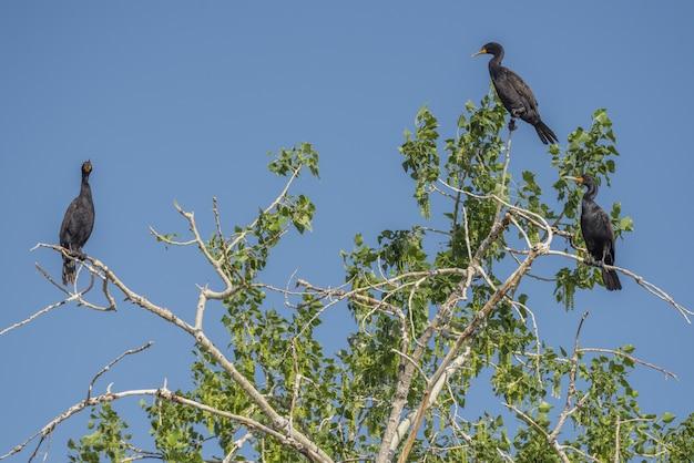 Aalscholvervogels die op een boom met een blauwe hemel zitten