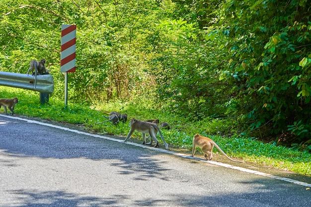 Aan de kant van de weg zit een kudde wilde apen.