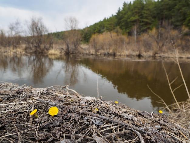 Aan de oevers van de rivier bloeiden de eerste gele paardebloemen.