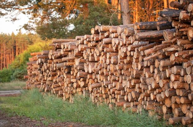 Aan de rand van het bos liggen veel vers gekapte boomstammen.