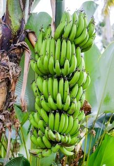 Aan een palmboom groeit een bosje groene bananen