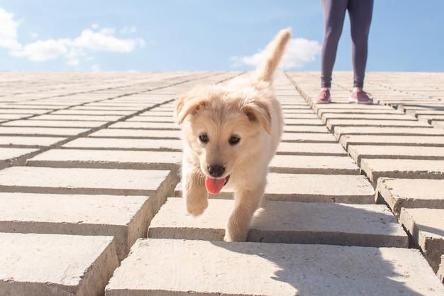 Aanbiddelijk gelukkig puppy dat langs de bakstenen loopt.