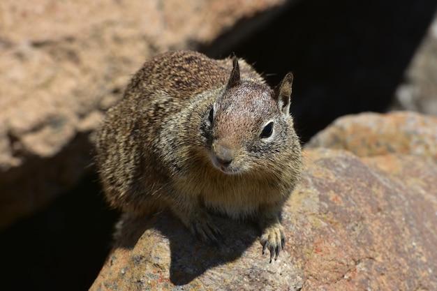 Aanbiddelijk gezicht van een eekhoorn in californië.