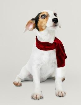 Aanbiddelijk jack russell retriever-puppy die een kerstmissjaal dragen