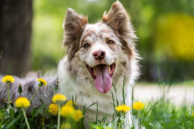 Aanbiddelijk portret van verbazend gezond en gelukkig border collie in de bloemen