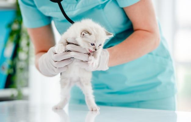 Aanbiddelijk ragdollkatje dat zich op achterpoten bij dierenartskliniek bevindt. vrouwelijke dierendokter die een schattige, rasechte pluizige kat vasthoudt tijdens het onderzoeken van de medische zorg