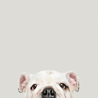 Aanbiddelijk wit het puppyportret van de buldog