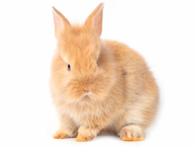 Aanbiddelijke geïsoleerde baby bruine konijnen